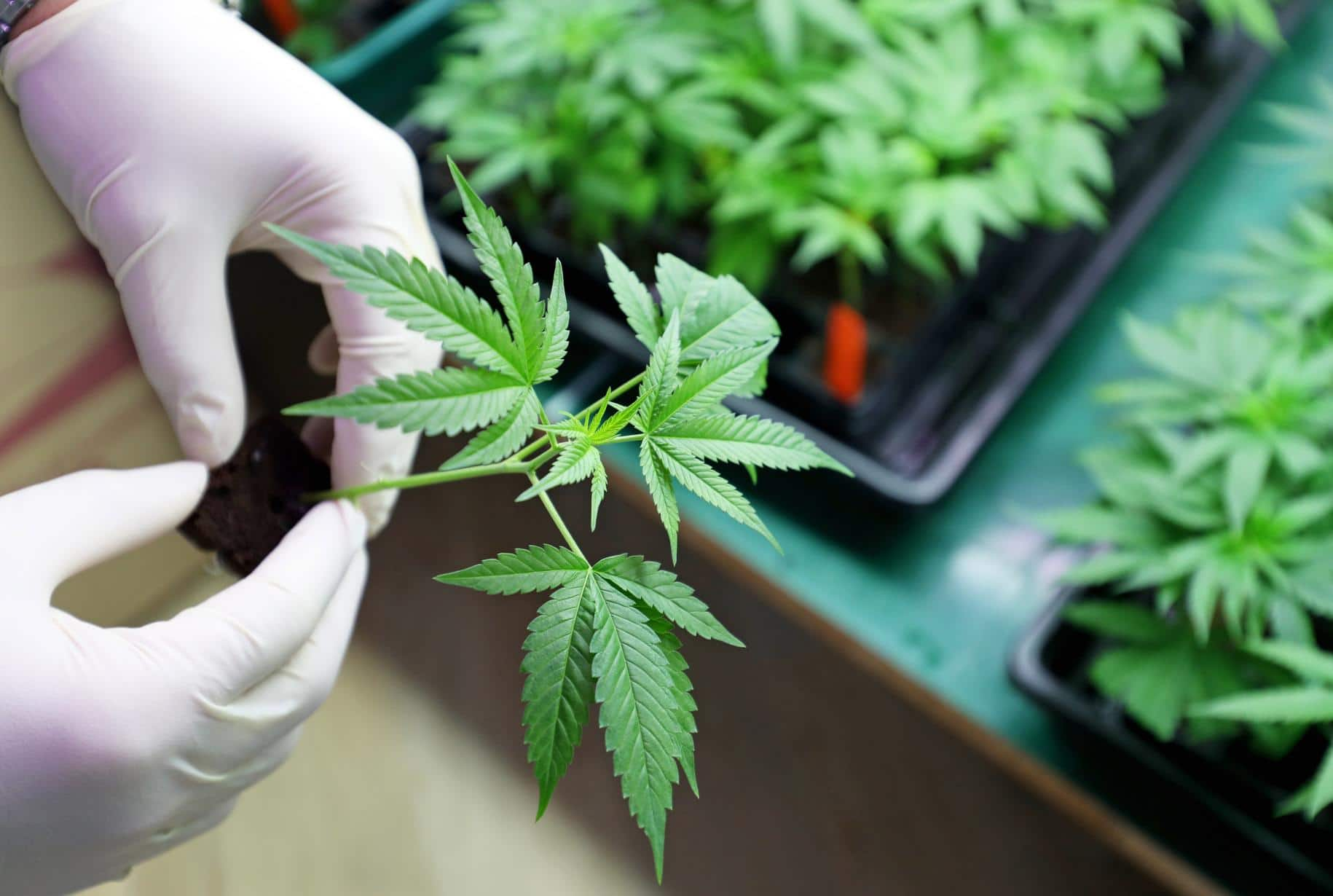 Medical marijuana producer hopes to expand into recreational market