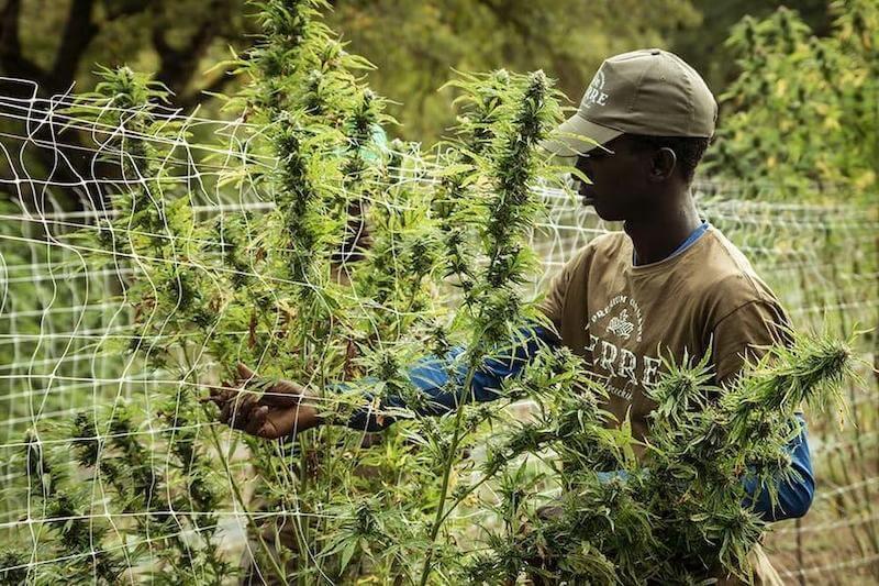 Lesotho Africa Cannabis