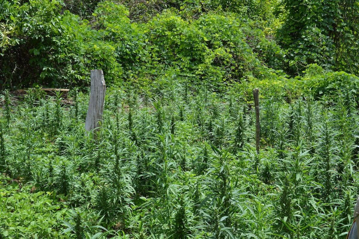 Ganja Farm Westmoreland Jamaica